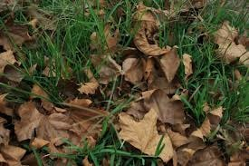 Mulching leaves in the fall - When should you stop watering your lawn in the fall?