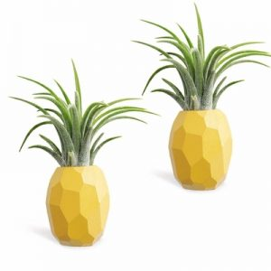 air plants pineapple