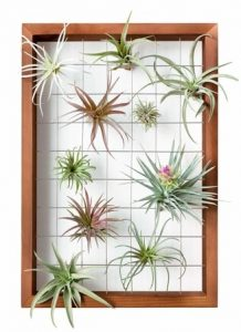 air plants frame living walls