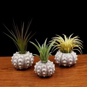 air plants in shells sea urchins