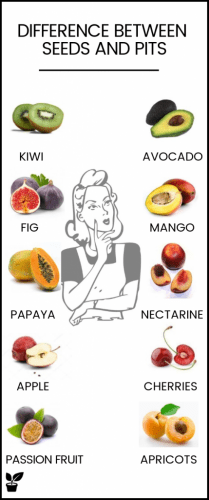 Fruits with seeds or pits – Dangerous seed, seedless and outside seed. a pit is the part of the fruit that protects the seed until growth time, while a seed is an ovule containing an embryo. while Seeds can be many or one in fruit while pits are always one. fruits with seeds or pits|fruits with seeds or pits products|fruits with seeds or pits shops|fruits with pits|Dangerous fruit seed|Seedless fruit|apple seed poison. #fruitsseeds#food#pits#avocado#seedless#outsideseed#Dangerousfruit.