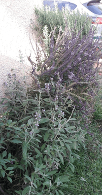 what herbs grow well together? - companion planting - Mediterranean herbs - Sage rosemary and basil