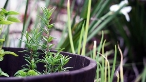 what herbs grow well together? - companion planting