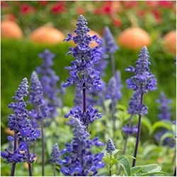 Decorative/floral herbs blue sage