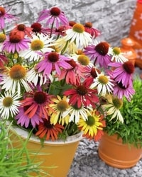 Decorative/floral herbs Echinacea