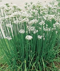 Decorative/floral herbs Garlic chives