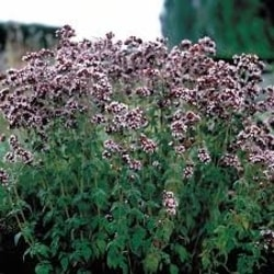 Decorative/floral herbs Italian oregano