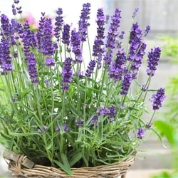 Decorative/floral herbs lavender