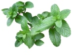 when to plant herbs - mint