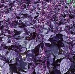 Decorative/floral herbs purple basil