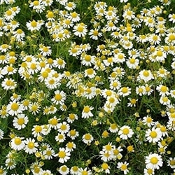 Decorative/floral herbs Roman chamomile
