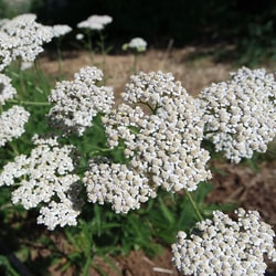 Decorative/floral herbs Yarrow