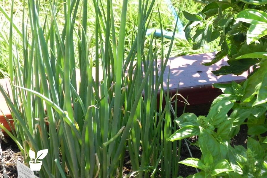 basil companion plants - growing plants together!