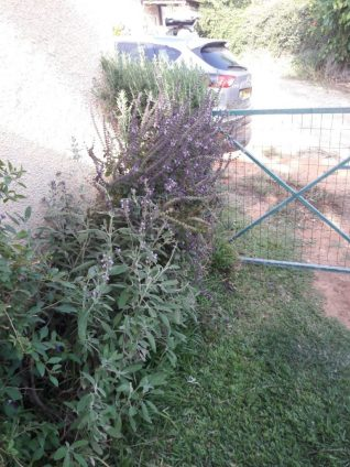 basil companion plants - my holy basil grow between sage to rosemary! for 4 years now