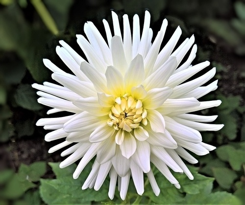 Chrysanthemum fall flower garden - What to Plant in Your Fall Flower & vegetables Gardens? simple guide