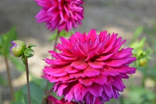 dahlias fall flower garden - What to Plant in Your Fall Flower & vegetables Gardens? simple guide