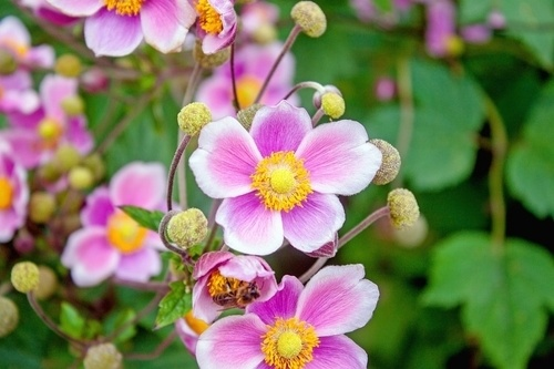 Japanese Anemone fall flower garden - What to Plant in Your Fall Flower & vegetables Gardens? simple guide
