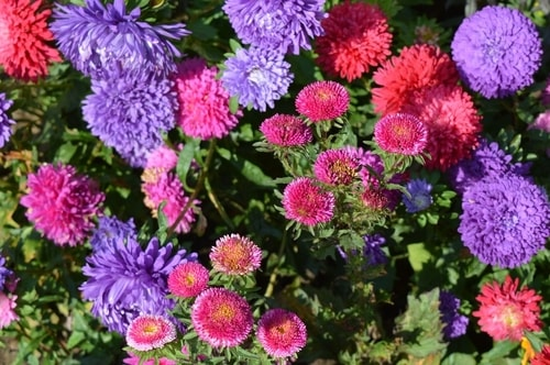 ASTERS FALL FLOWER GARDEN - Plant in Your Fall Flower & vegetables Gardens