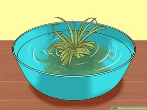 Air Plants watering Give your air plant a heavy soak once a week