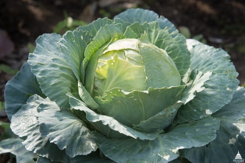Cabbage Fall Vegetables Garden