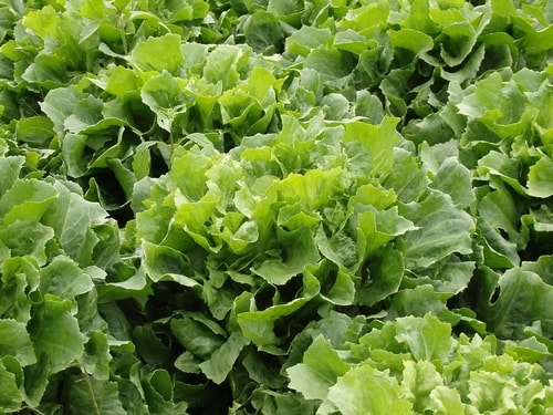 Lettuce Fall Vegetables Garden