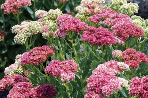 SEDUM FALL FLOWER GARDEN - What to Plant in Your Fall Flower & vegetables Gardens? simple guide