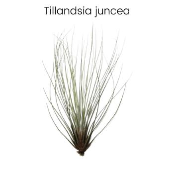 Tillandsia juncea air plant|Different types of air plants Tillandsia