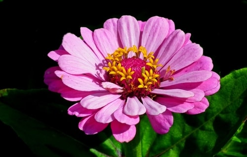 ZINNIA FALL FLOWER GARDEN - Plant in Your Fall Flower & vegetables Gardens
