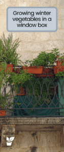 Growing winter vegetables in a window box