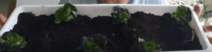 Plant the seedlings in a zigzag form