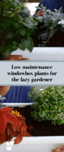 low maintenance window box plants for the lazy gardener - We all want a flowering garden, a garden that is all full of color and everything is full of flowers.  But not everyone has the urge to care, and sometimes we are lazy. Some people want a flowering garden that needs little effort, and that's fine. in this article, you'll find ideas for low maintenance window box plants for the lazy gardener. #lazygardenerplants #lazygardening #windowboxplants #lazygardeners. lazy gardener plants | lazy gardening ideas | window boxes flowers low maintenance.