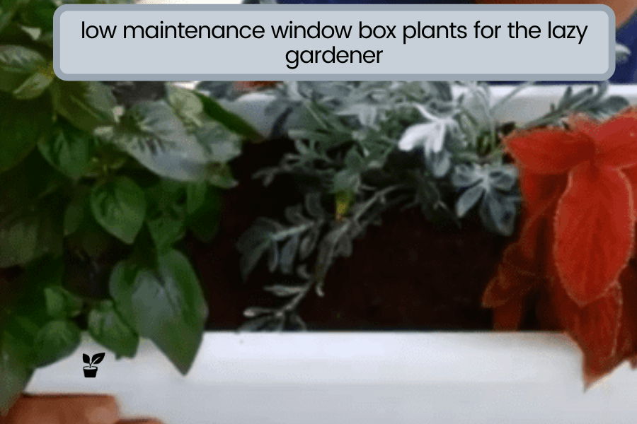 low maintenance window box plants for the lazy gardener