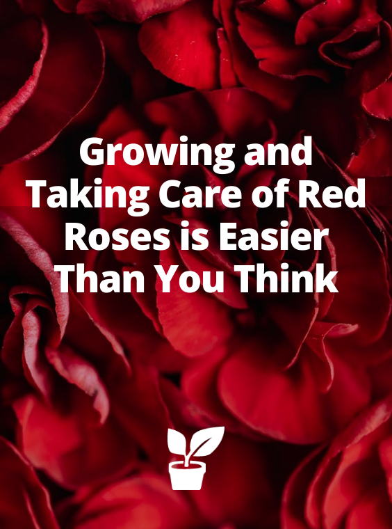 If you are a fan of red roses but have no idea how to go about it, look no further. This article highlights the basics of growing and taking care of beautiful red roses. Read on for deeper insight into the topic, how to grow red roses, what to do with dried red roses etc... #redroses #beautifulredroses #redroseflower #roseflower #rosesgarden how to grow red roses   what to do with dried red roses   what to do with red roses   how roses grow   how to grow roses from seeds   red rose garden