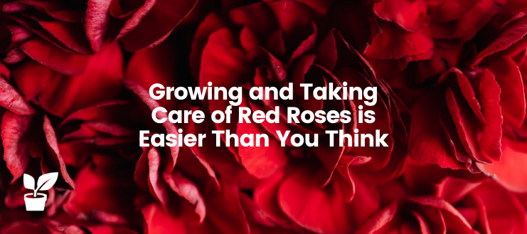 Growing and Taking Care of Red Roses is Easier Than You Think