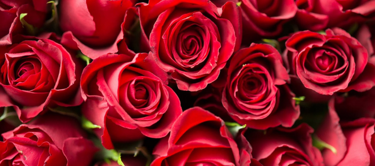Red Roses - how to keep red roses alive indoors